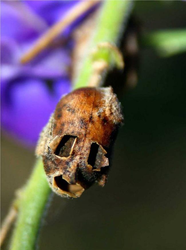 Loài hoa có hình đầu rồng màu hồng tuyệt đẹp nhưng khi tàn lại biến thành đầu lâu đáng sợ gắn liền với nhiều giả thiết bí ẩn - Ảnh 8.