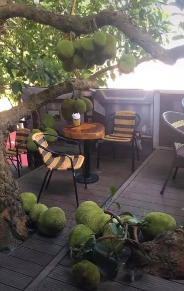 Quán cà phê độc đáo ở Tuyên Quang: Khách ngồi giữa hàng chục quả mít, mùi thơm nức mũi - Ảnh 1.