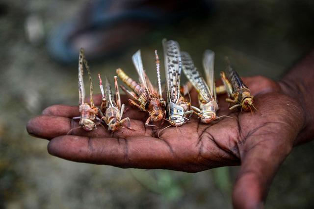 Chùm ảnh rợn người về đại dịch châu chấu đang hoành hành ở châu Phi: 'Binh đoàn' nghìn tỷ con châu chấu với sức ăn bằng 35.000 người/ngày bay kín trời - ảnh 16