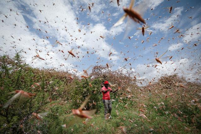 Chùm ảnh rợn người về đại dịch châu chấu đang hoành hành ở châu Phi: 'Binh đoàn' nghìn tỷ con châu chấu với sức ăn bằng 35.000 người/ngày bay kín trời - ảnh 2