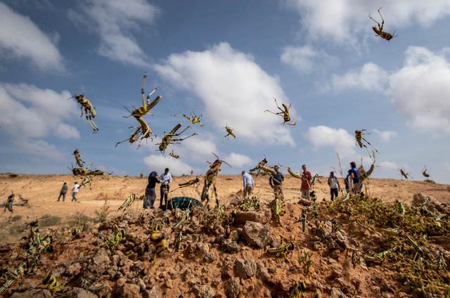 Chùm ảnh rợn người về đại dịch châu chấu đang hoành hành ở châu Phi: 'Binh đoàn' nghìn tỷ con châu chấu với sức ăn bằng 35.000 người/ngày bay kín trời - ảnh 5