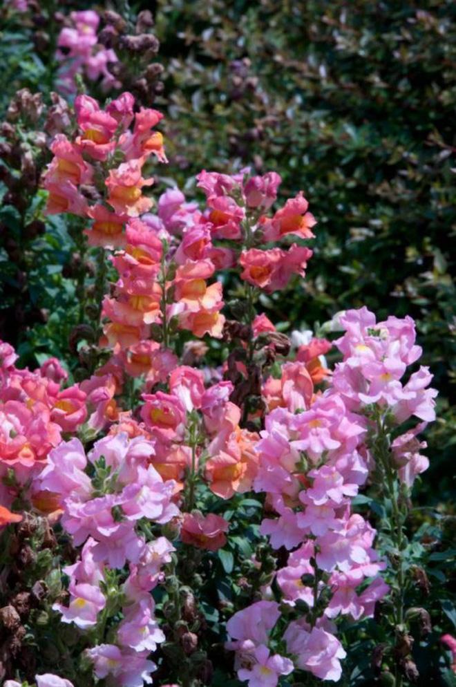 Loài hoa có hình đầu rồng màu hồng tuyệt đẹp nhưng khi tàn lại biến thành đầu lâu đáng sợ gắn liền với nhiều giả thiết bí ẩn - Ảnh 6.