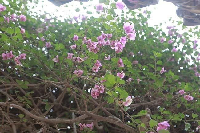 Cận cảnh cây hoa giấy Vạn hoa lầu gần 3 tỷ đồng độc nhất vô nhị của đại gia Phú Thọ - Ảnh 5.