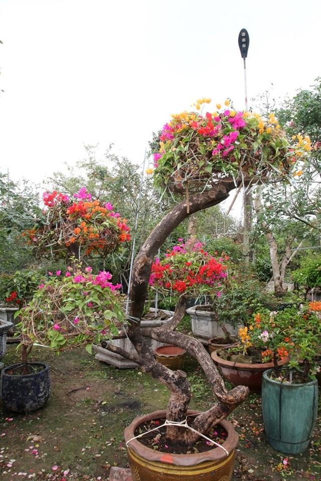 Cận cảnh cây hoa giấy Vạn hoa lầu gần 3 tỷ đồng độc nhất vô nhị của đại gia Phú Thọ - Ảnh 7.
