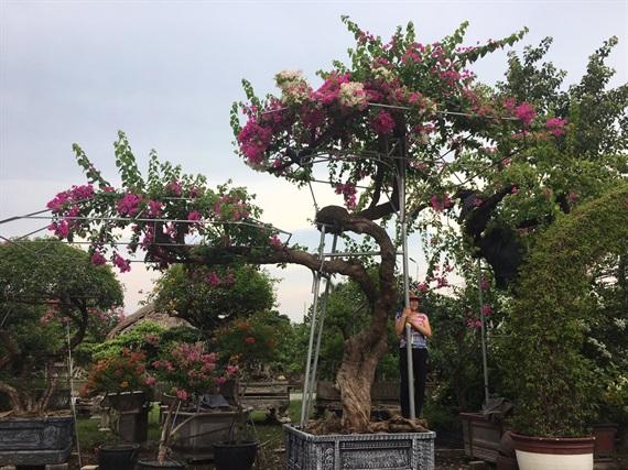 Cận cảnh cây hoa giấy Vạn hoa lầu gần 3 tỷ đồng độc nhất vô nhị của đại gia Phú Thọ - Ảnh 8.