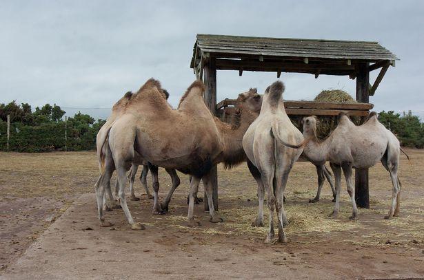 Ông cụ vui tính thả 80 con lạc đà ra khiến cả vùng hỗn loạn, người dân mất ăn mất ngủ - Ảnh 1.