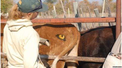 Sự thật về cặp mắt thần giúp bò chiến thắng kẻ săn mồi hung dữ - Ảnh 1.