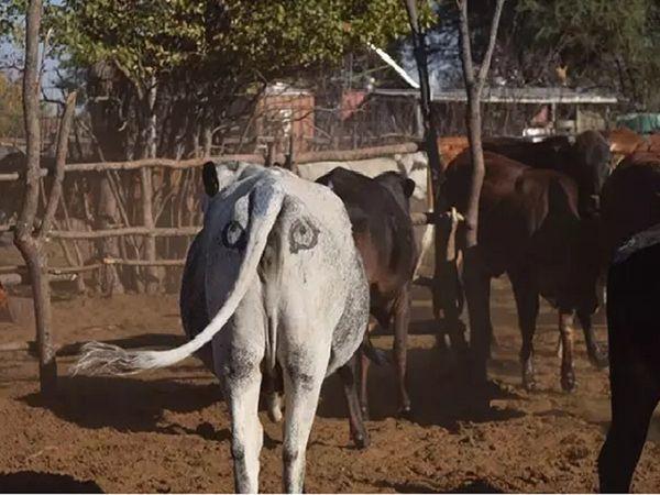 Sự thật về cặp mắt thần giúp bò chiến thắng kẻ săn mồi hung dữ - Ảnh 5.
