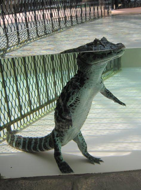 Cá sấu nổi lềnh bềnh ai cũng sợ nhưng hình ảnh dưới mặt nước lại phản bội sự hung tợn của chúng, thậm chí còn có phần đáng yêu - Ảnh 1.