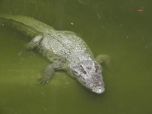 Cá sấu nổi lềnh bềnh ai cũng sợ nhưng hình ảnh dưới mặt nước lại phản bội sự hung tợn của chúng, thậm chí còn có phần đáng yêu - Ảnh 2.