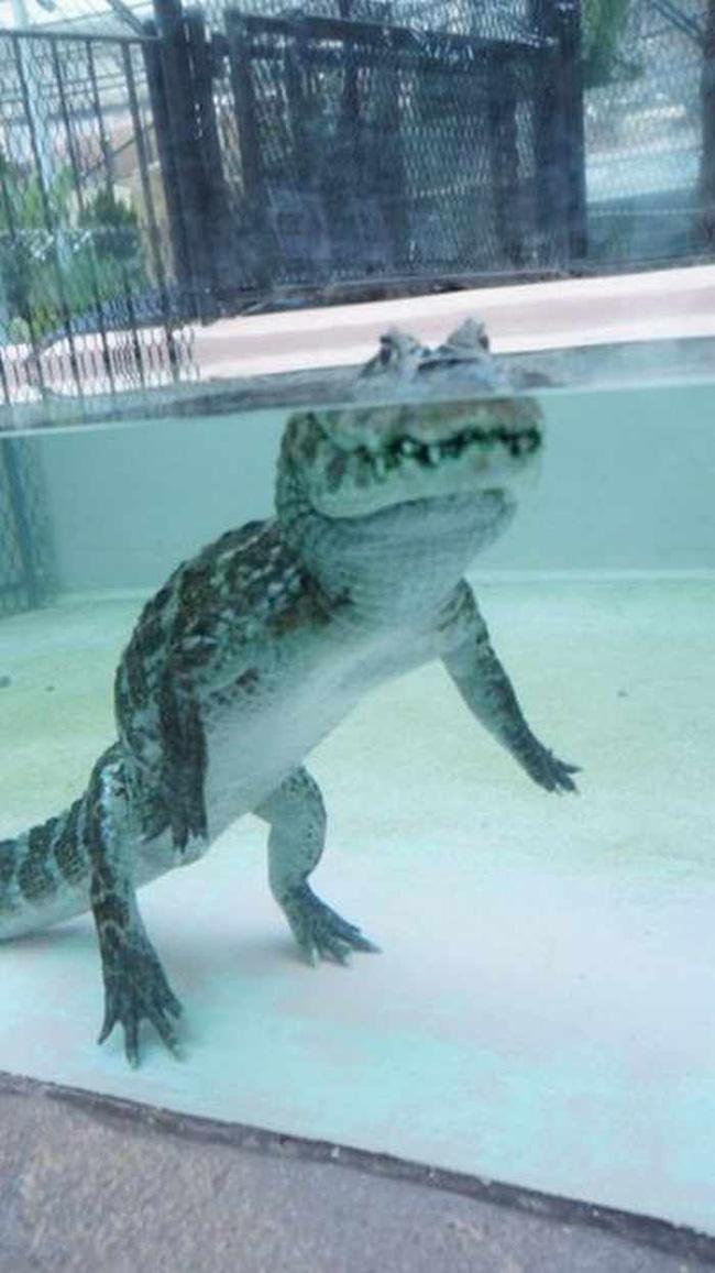 Cá sấu nổi lềnh bềnh ai cũng sợ nhưng hình ảnh dưới mặt nước lại phản bội sự hung tợn của chúng, thậm chí còn có phần đáng yêu - Ảnh 3.