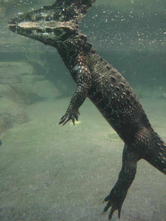 Cá sấu nổi lềnh bềnh ai cũng sợ nhưng hình ảnh dưới mặt nước lại phản bội sự hung tợn của chúng, thậm chí còn có phần đáng yêu - Ảnh 4.