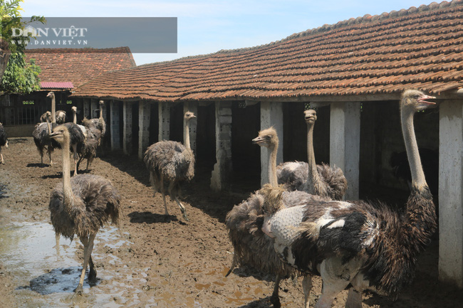 """Thanh Hóa: Nuôi thứ chim khổng lồ"""" to nhất thế giới, nuôi như nuôi gà mà lời 500 triệu/năm - Ảnh 7."""