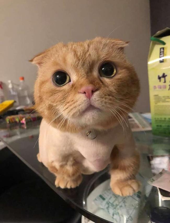 Đang yên đang lành bị đem ra làm lông, bộ dạng sau đó của mèo khiến dân tình sửng sốt: Cái râu cái tóc là góc con mèo! - Ảnh 1.