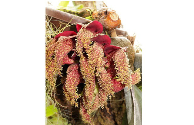 Top 10 loài hoa nặng mùi nhất thế giới - Ảnh 6.
