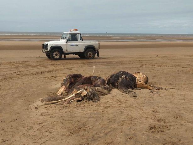 Sinh vật lạ khổng lồ trôi dạt vào bờ biển Anh, người dân hoang mang không biết là con gì - Ảnh 3.