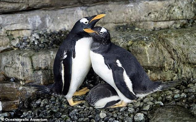 Hạnh phúc vỡ òa với cặp đôi chim cánh cụt đồng tính lần đầu được làm cha mẹ - Ảnh 1.