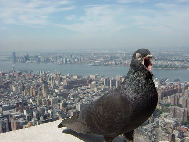 Đông đến mức không thể chịu nổi: Chim bồ câu đã xâm chiếm toàn bộ các thành phố của Mỹ như thế nào? - Ảnh 1.