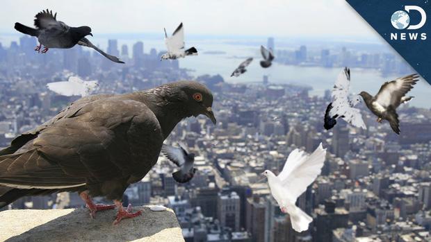 Đông đến mức không thể chịu nổi: Chim bồ câu đã xâm chiếm toàn bộ các thành phố của Mỹ như thế nào? - Ảnh 3.