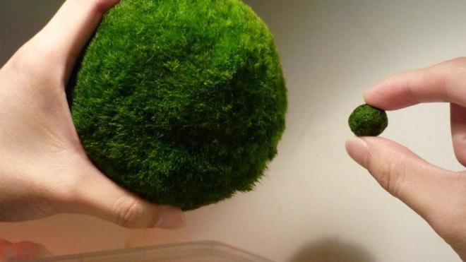 Marimo: Loài tảo cầu cực kỳ đáng yêu đang dần trở thành trào lưu chăm sóc như thú cưng tại Nhật Bản - Ảnh 2.