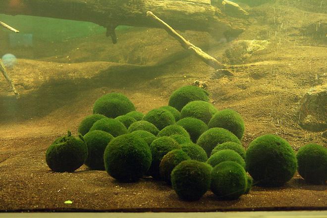 Marimo: Loài tảo cầu cực kỳ đáng yêu đang dần trở thành trào lưu chăm sóc như thú cưng tại Nhật Bản - Ảnh 3.