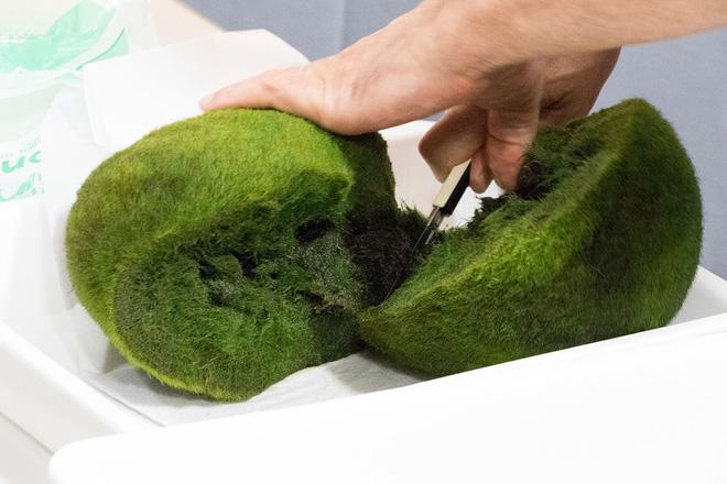 Marimo: Loài tảo cầu cực kỳ đáng yêu đang dần trở thành trào lưu chăm sóc như thú cưng tại Nhật Bản - Ảnh 4.