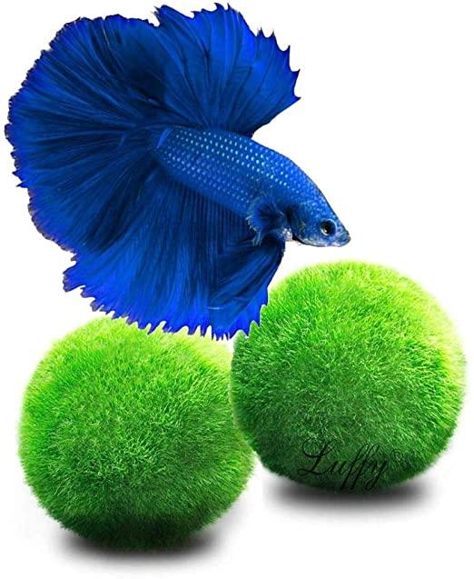 Marimo: Loài tảo cầu cực kỳ đáng yêu đang dần trở thành trào lưu chăm sóc như thú cưng tại Nhật Bản - Ảnh 5.