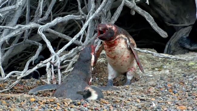 Những sự thật thú vị về chim cánh cụt khiến bạn phải ố á, hóa ra loài vật dễ thương này còn có cả kho tàng chuyện hài hước - Ảnh 3.