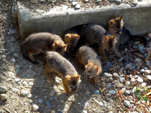 Giải cứu 8 chú chó nhỏ bị mắc kẹt dưới cống nhưng khi đưa đến bác sĩ thú y, mọi người mới tá hỏa khi biết chúng không phải là chó con - Ảnh 5.