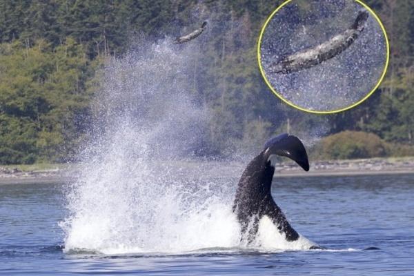 Khoảnh khắc ngoạn mục: Cá voi sát thủ quăng hải cẩu lên cao 15 mét - Ảnh 1.