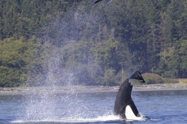 Khoảnh khắc ngoạn mục: Cá voi sát thủ quăng hải cẩu lên cao 15 mét - Ảnh 2.