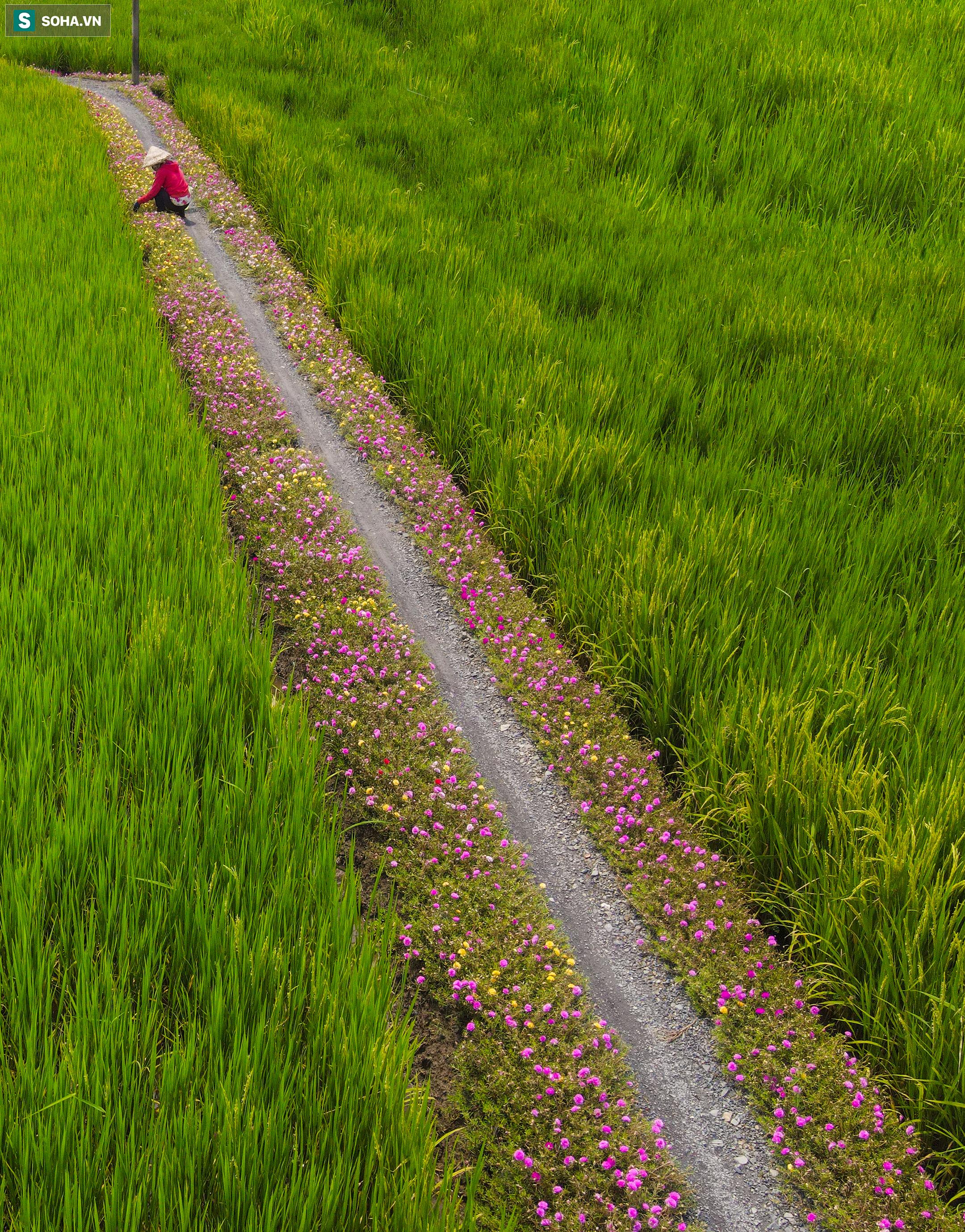 [Ảnh] Con đường hoa mười giờ len lỏi giữa đồng lúa xanh đẹp như tranh ở Sài Gòn - Ảnh 5.
