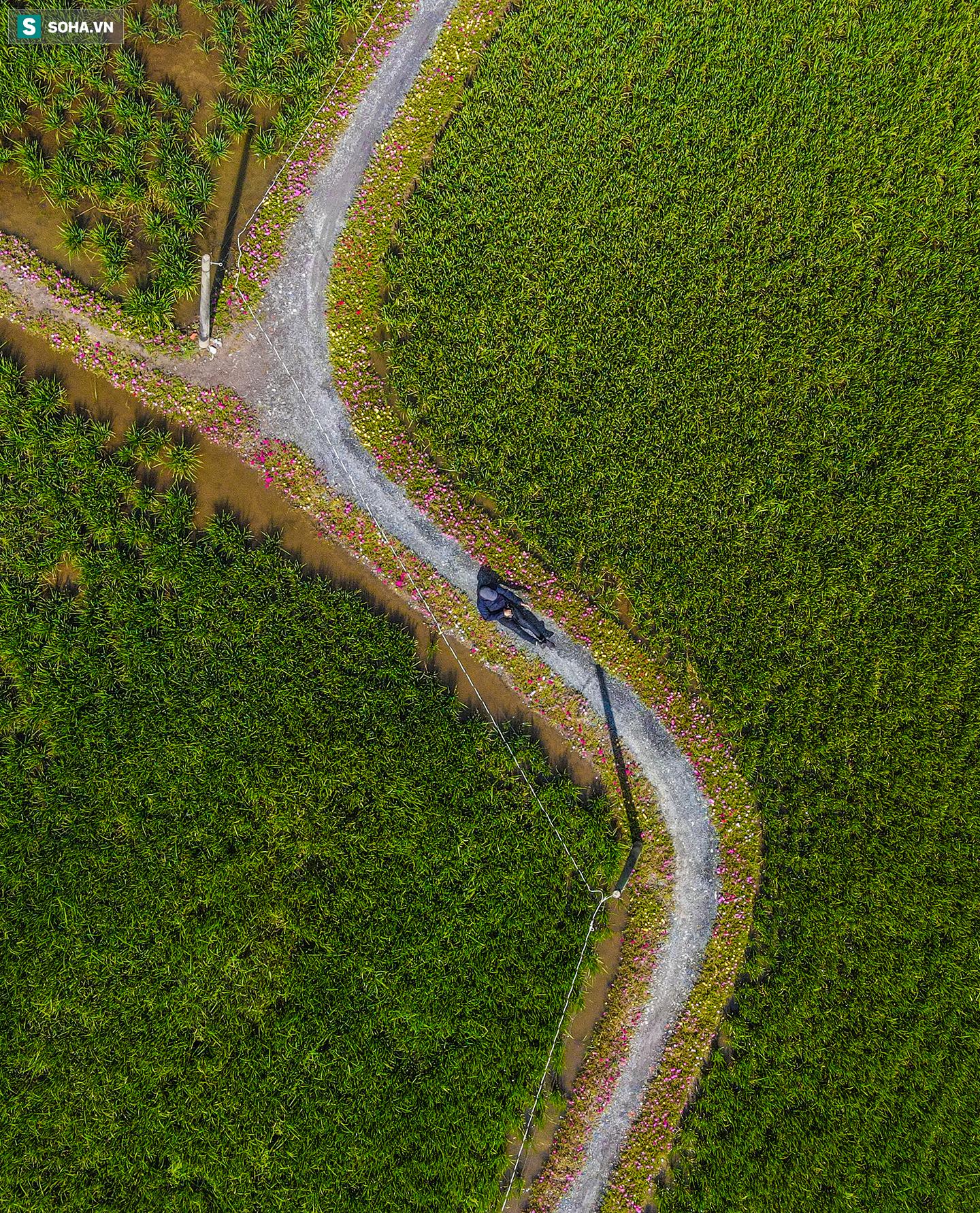 [Ảnh] Con đường hoa mười giờ len lỏi giữa đồng lúa xanh đẹp như tranh ở Sài Gòn - Ảnh 7.