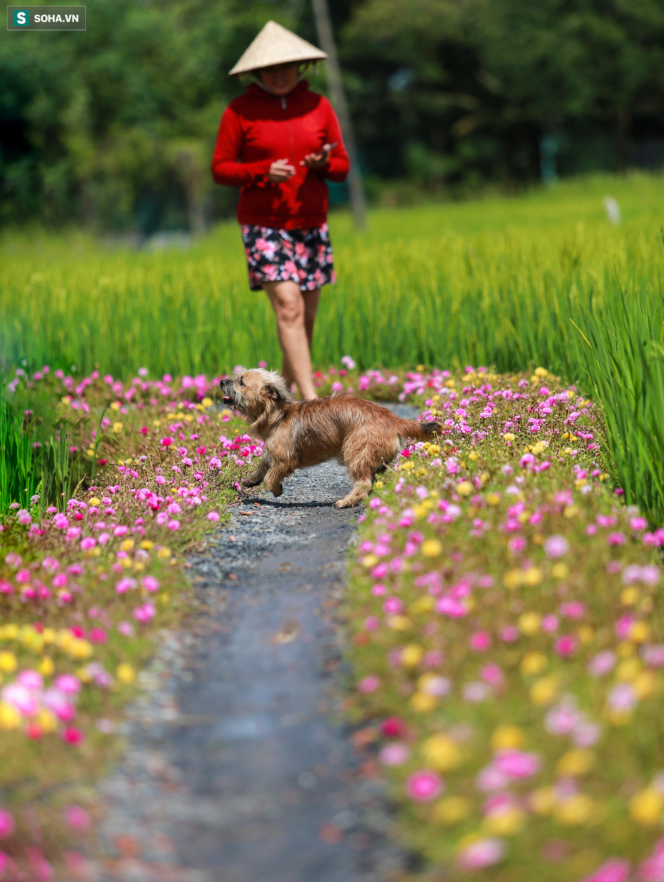 [Ảnh] Con đường hoa mười giờ len lỏi giữa đồng lúa xanh đẹp như tranh ở Sài Gòn - Ảnh 12.