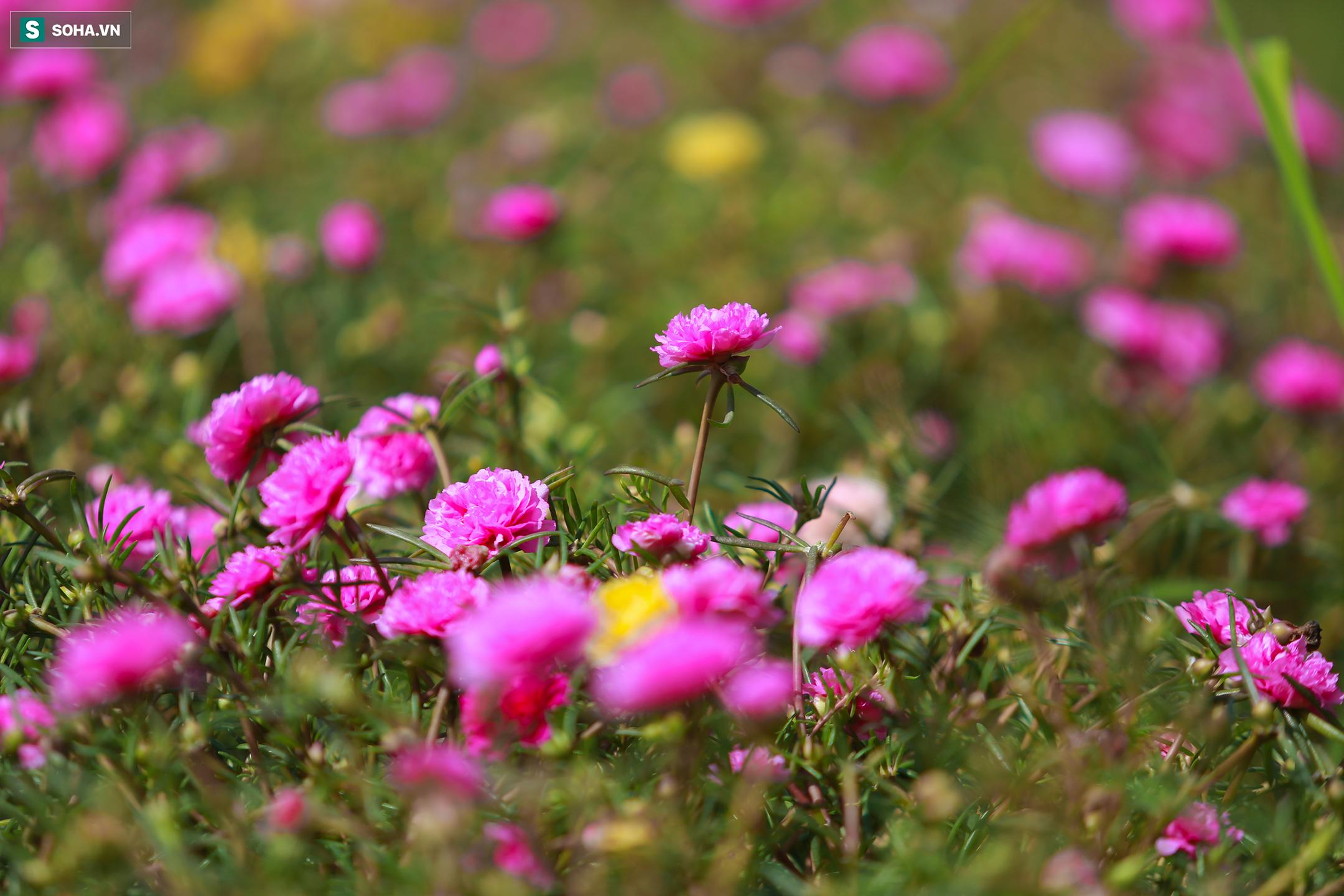 [Ảnh] Con đường hoa mười giờ len lỏi giữa đồng lúa xanh đẹp như tranh ở Sài Gòn - Ảnh 6.