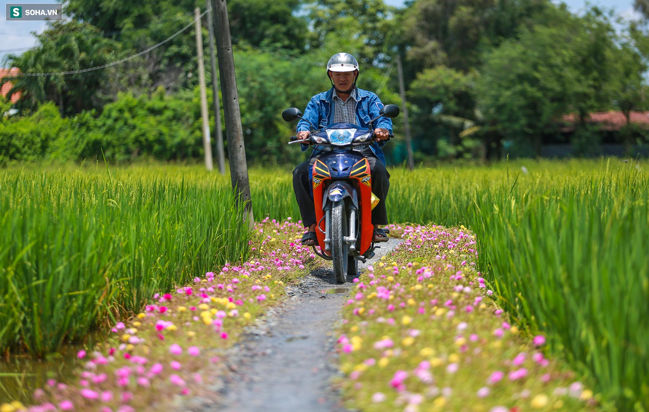 [Ảnh] Con đường hoa mười giờ len lỏi giữa đồng lúa xanh đẹp như tranh ở Sài Gòn - Ảnh 8.