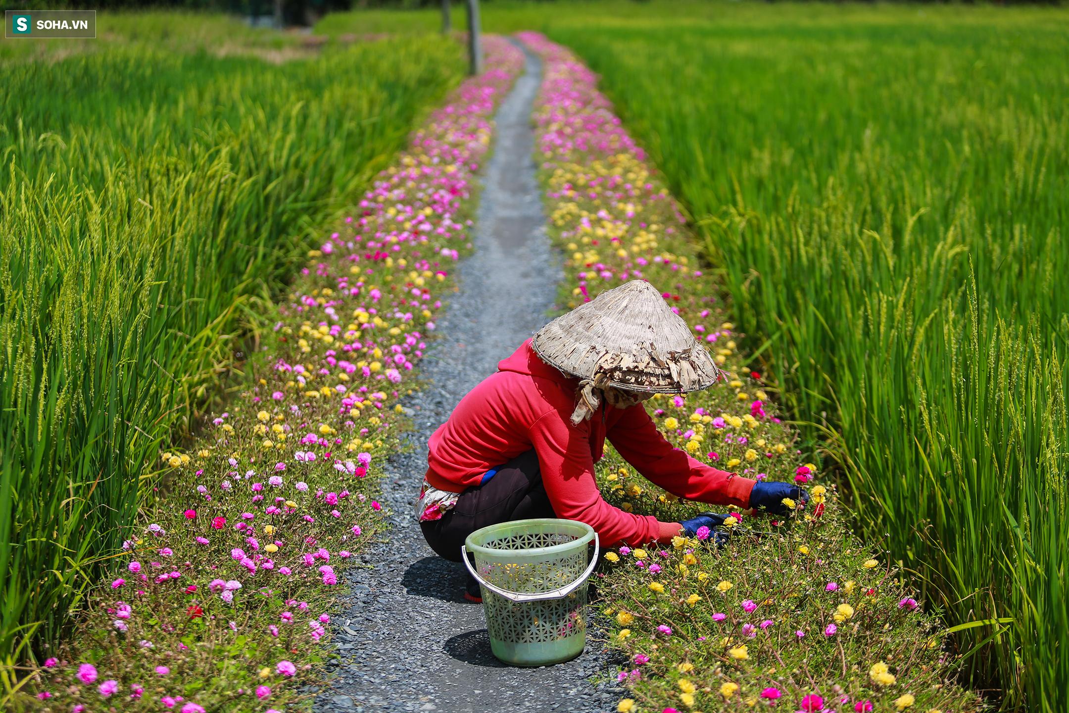 [Ảnh] Con đường hoa mười giờ len lỏi giữa đồng lúa xanh đẹp như tranh ở Sài Gòn - Ảnh 1.