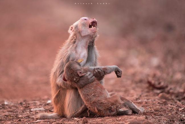 Khỉ mẹ ôm con đã chết trong tay gào thét thảm thiết khiến ai cũng rơi lệ nhưng câu chuyện phía sau lại hoàn toàn khác - Ảnh 2.