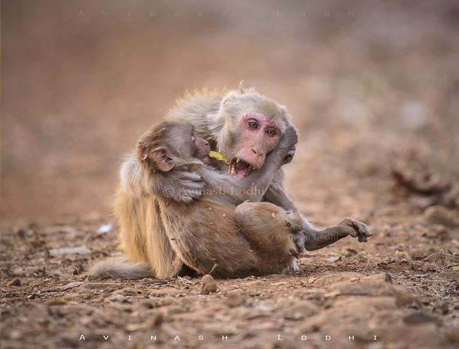 Khỉ mẹ ôm con đã chết trong tay gào thét thảm thiết khiến ai cũng rơi lệ nhưng câu chuyện phía sau lại hoàn toàn khác - Ảnh 3.