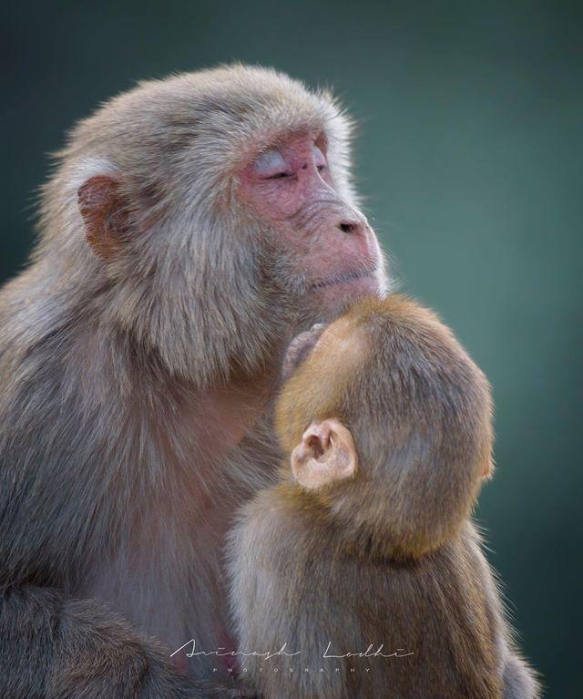 Khỉ mẹ ôm con đã chết trong tay gào thét thảm thiết khiến ai cũng rơi lệ nhưng câu chuyện phía sau lại hoàn toàn khác - Ảnh 4.