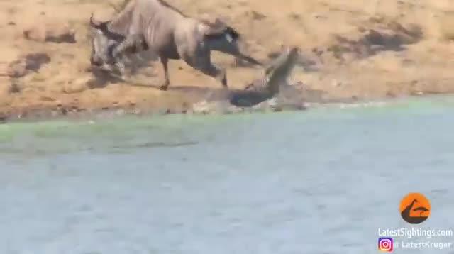 Clip: Hà mã tấn công cá sấu, giải cứu linh dương đầu bò khỏi dòng sông tử thần - Ảnh 2.