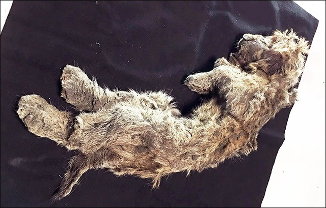 Hồi sinh xác ướp sư tử 50.000 năm tuổi ngủ quên dưới lớp băng vĩnh cửu - Ảnh 1.