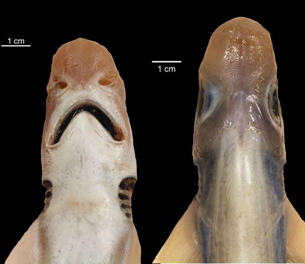 Lần đầu tiên khoa học tìm ra con cá mập đáng thương nhất lịch sử: Việc nó tồn tại được đến giờ phút này hoàn toàn là nhờ may mắn - Ảnh 1.