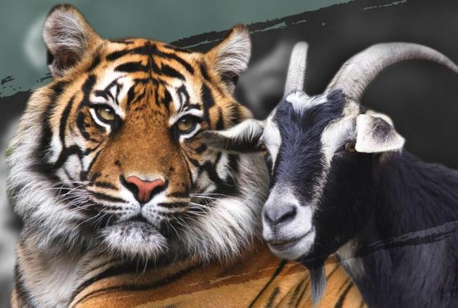 Làm con mồi dâng cho hổ, chú dê không bị ăn thịt còn trở thành bạn với kẻ thù, đi đâu cũng có nhau nhưng vẫn nhận cái kết bi đát vì... giỡn nhây - Ảnh 1.