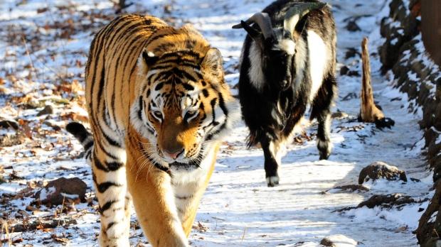 Làm con mồi dâng cho hổ, chú dê không bị ăn thịt còn trở thành bạn với kẻ thù, đi đâu cũng có nhau nhưng vẫn nhận cái kết bi đát vì... giỡn nhây - Ảnh 2.