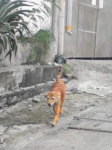 Đang trên đường về nhà, thanh niên phát hoảng vì tưởng chạm trán hổ dữ, nhìn kỹ phần mõm con vật mới thở phào nhẹ nhõm - Ảnh 3.