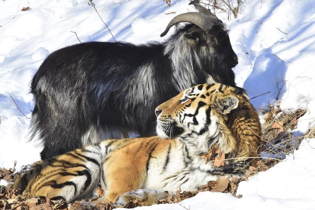 Làm con mồi dâng cho hổ, chú dê không bị ăn thịt còn trở thành bạn với kẻ thù, đi đâu cũng có nhau nhưng vẫn nhận cái kết bi đát vì... giỡn nhây - Ảnh 7.