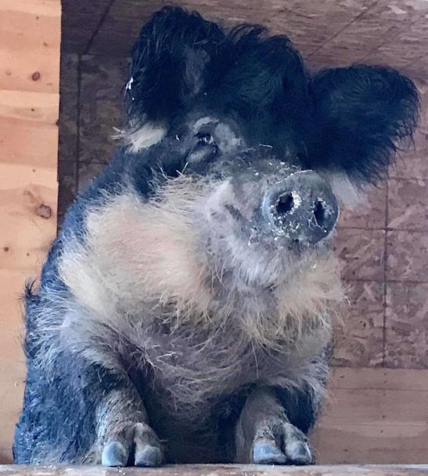 Chú lợn lông xù giống hệt con cừu nhưng tính cách thì như một con chó - Ảnh 2.