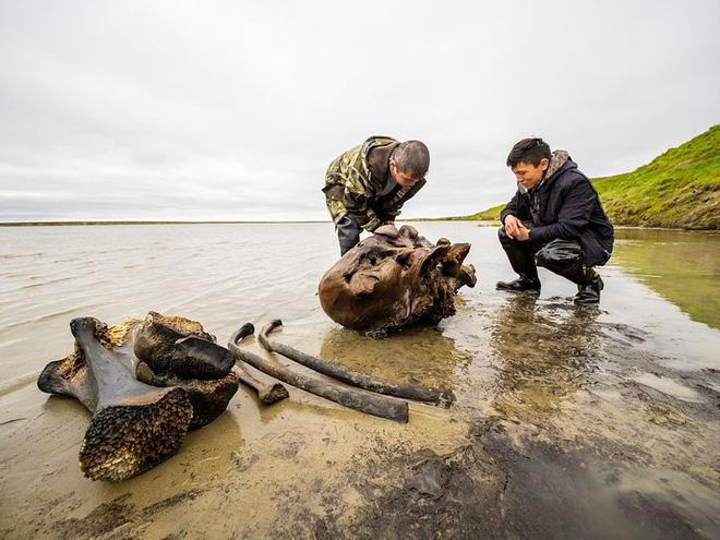 Băng tan tại Bắc Cực để lộ hài cốt voi ma mút 10.000 năm tuổi vẫn còn nguyên gân và da - Ảnh 2.