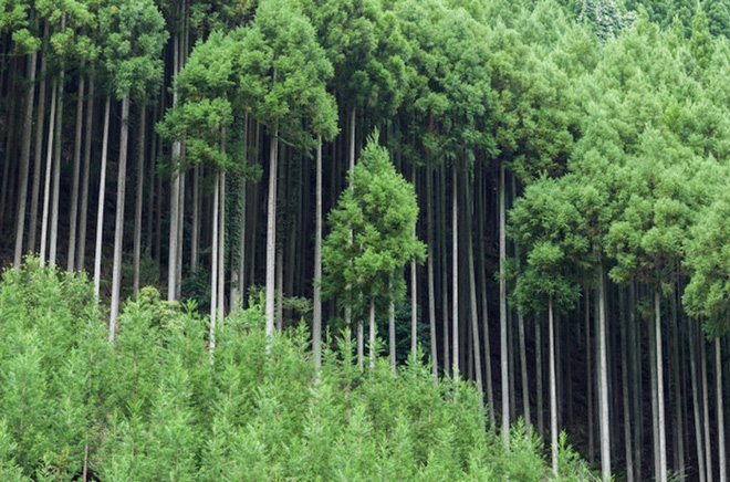 Tìm hiểu về kỹ thuật trồng cây cổ xưa Daisugi giúp tạo ra nhiều cây gỗ mới từ một gốc cây - Ảnh 2.